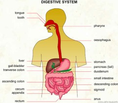 The Digestive System (often simply referred to as the Gut, or the GIT - but we all know that it's so much bigger then this.)