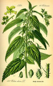 Picture credit: Wikipedia commons. Urtica dioca.