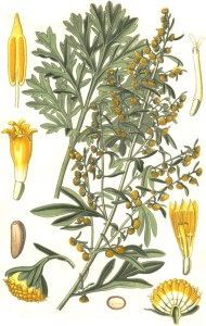 Wormwood-Artemisia-absinthium-L-drawing-of-plant-flowers-seeds-and-fruits-drawing