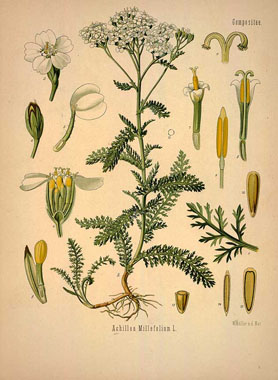Köhler's Medizinal-Pflanzen in naturgetreuen Abbildungen mit ku